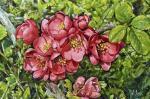 Volya Alexander. Blossoming apple. Spring