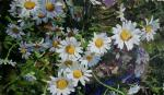 Flowers No. 22. Chamomile