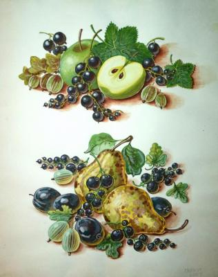 Black currant, gooseberry, apples, pears and plums. Dobrovolskaya Gayane
