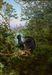 Sergeev Oleg. current capercaillie
