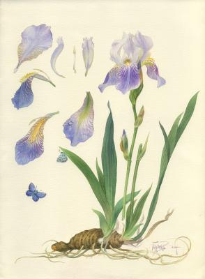 Iris and blue. Pugachev Pavel