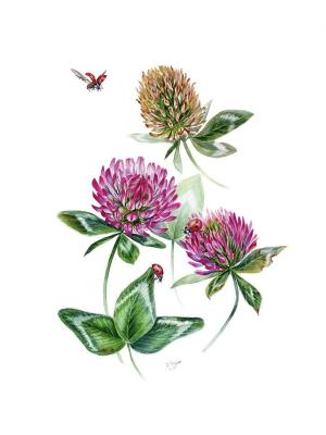 Red clover botanical illustration. Tihomirova Kseniya