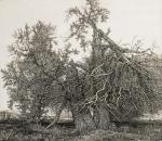 Никиреев Станислав. Два дерева