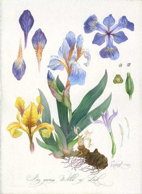 Ботанический рисунок ирис